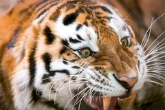 Young tiger (Panthera tigris altaica) growls aggressively.  Royalty Free Stock Photos