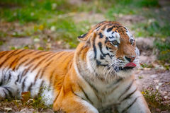 Young tiger (Panthera tigris altaica) is lying on the grass Royalty Free Stock Photos