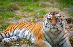 Young tiger (Panthera tigris altaica) is lying on the grass.  royalty free stock photography