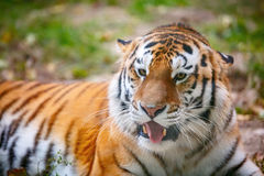Young tiger (Panthera tigris altaica) is lying on the grass Royalty Free Stock Photo