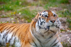 Young tiger (Panthera tigris altaica) is lying on the grass Stock Image