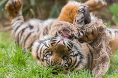 Young tiger playing Royalty Free Stock Photography