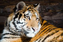 Young tiger sitting on morning sun royalty free stock image