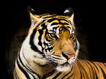 Young Tiger Royalty Free Stock Photo