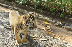 Young Tiger Walking Royalty Free Stock Photo