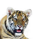 Young tiger. Wild animal theme royalty free stock photography