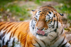 Young tiger (Panthera tigris altaica) is lying on the grass Stock Photos