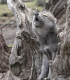 Howling wolf pup Stock Photo