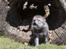 Young timber wolf howling. Young, baby timber wolf or gray wolf pup, howling.  Springtime Royalty Free Stock Image
