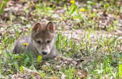 Wolf pup Royalty Free Stock Photo