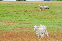 Young tiny fluffy sheep herd on green yard at hill in New Zealand for agriculture. White young tiny fluffy sheep herd on green yard at hill in New Zealand for Stock Photography