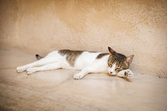Young tired cat Royalty Free Stock Photography