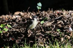 A young tit chicken, fresh from the nest, sitting in the warm evening sun. Telephoto lens, ground with pieces of wood stock photography
