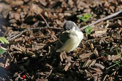 A young tit chicken, fresh from the nest, sitting in the warm evening sun. Ground with wood pieces, telephoto royalty free stock photo