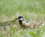 Young Tit (Parus major) Royalty Free Stock Photo