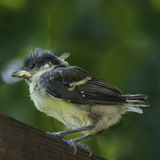 Young titmouse a bit scary Stock Images