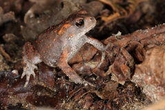 Young toad. A young toad found in a forest among the leaves Stock Photos
