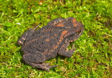 Young toad (Bufo gargarizans) 1 Royalty Free Stock Images