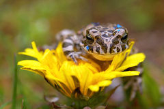 Young toad on the flower Stock Images