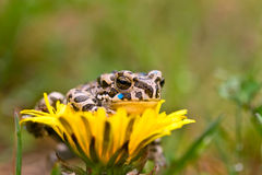Young toad on the flower Stock Image