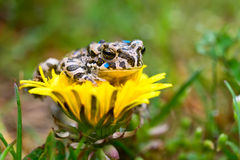 Young toad on the flower Stock Photo