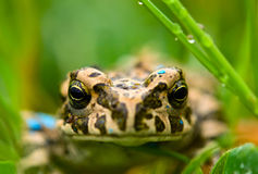 Young toad in the grass Royalty Free Stock Photography