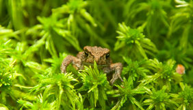 Young toad look Royalty Free Stock Image
