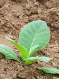 Young tobacco plant Stock Photos