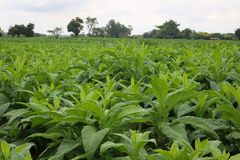 Young tobacco field in Thailand Stock Image