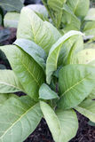 Young tobacco seedlings plant Stock Image