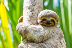 Young 3 Toed Sloth in its natural habitat.  Amazon River, Peru. 3 toed sloth (Bradypus variegatus) found in the peruvian amazon river area.  It is a endangered Stock Photo