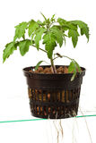 Young tomato plant Royalty Free Stock Images