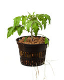 Young tomato plant Stock Photo