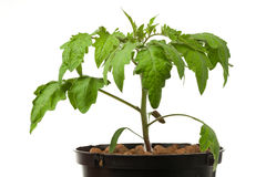 Young tomato plant Royalty Free Stock Image