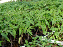 Young tomato plant. Ready for transplant in garden bed Royalty Free Stock Photo