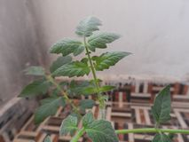 Young tomato stem. Young tomato plant, binomial name is Solanum lycopersicum stock image