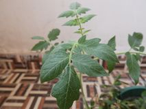 Young tomato stem. Young tomato plant, binomial name is Solanum lycopersicum royalty free stock photography