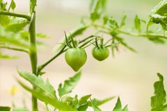 Young tomato plant, green unripe fruits. stock photos