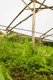 Young tomato plant growing in a very simple plant nursery greenh Stock Images