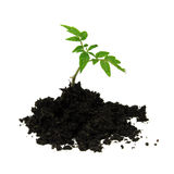 Young tomato plant and soil isolated on white Stock Photos