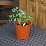Young tomato plant in terracotta plant pot with shed background. Stock Photo