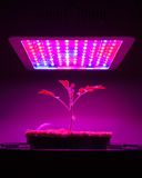 Young tomato plant under LED grow light. Closeup view Stock Image