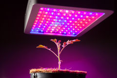 Young tomato plant under LED grow light. Closeup view Royalty Free Stock Photo