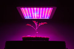 Young tomato plant under LED grow light Stock Images