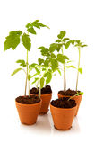 Young tomato plants Royalty Free Stock Photo