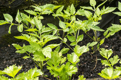 Young tomato plants Royalty Free Stock Image