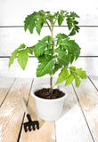 Young tomato plants Stock Photo