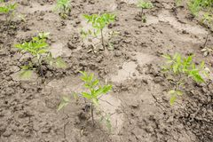 Young tomato plants on dry cracked earth stock images