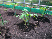 Young tomato plants in the garden bed Royalty Free Stock Photos