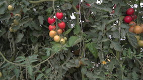 Young Tomato Plants in a Greenhouse. 4K. UHD. stock video